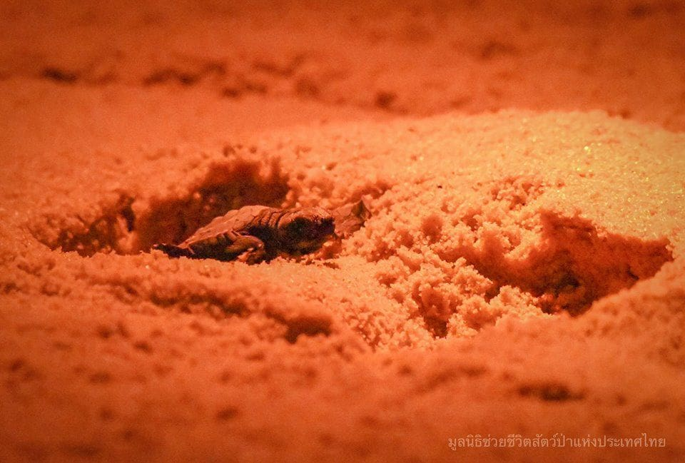 68 Ridley's sea turtles hatched on Phang Nga beach - VIDEO | News by The Thaiger