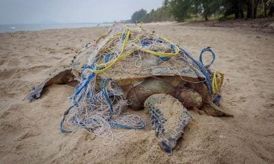 Sea turtle dies after getting tangled in a fishing net – Prachuap Khiri Khan | Thaiger