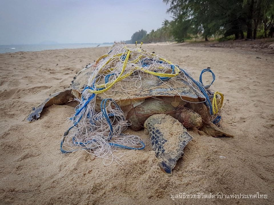Sea turtle dies after getting tangled in a fishing net – Prachuap Khiri Khan | The Thaiger
