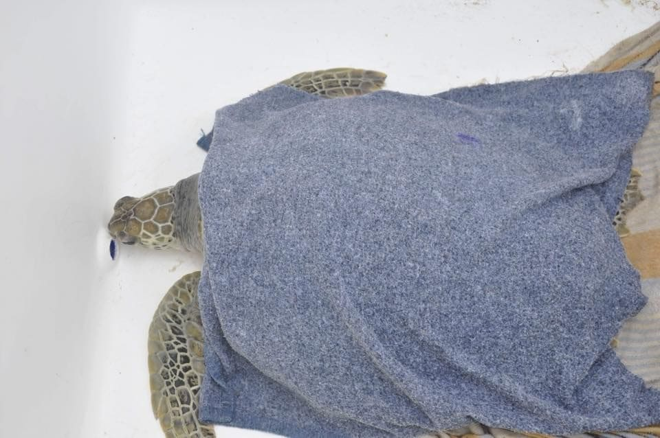 Sea turtle saved after eating fishing net and plastic off Pattaya coast   News by Thaiger