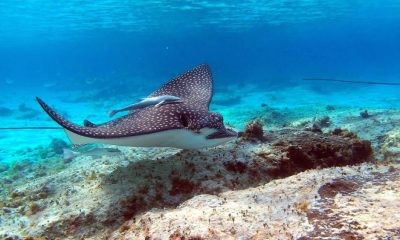 Cooking spotted eagle ray is OK – Fisheries spokesperson | The Thaiger