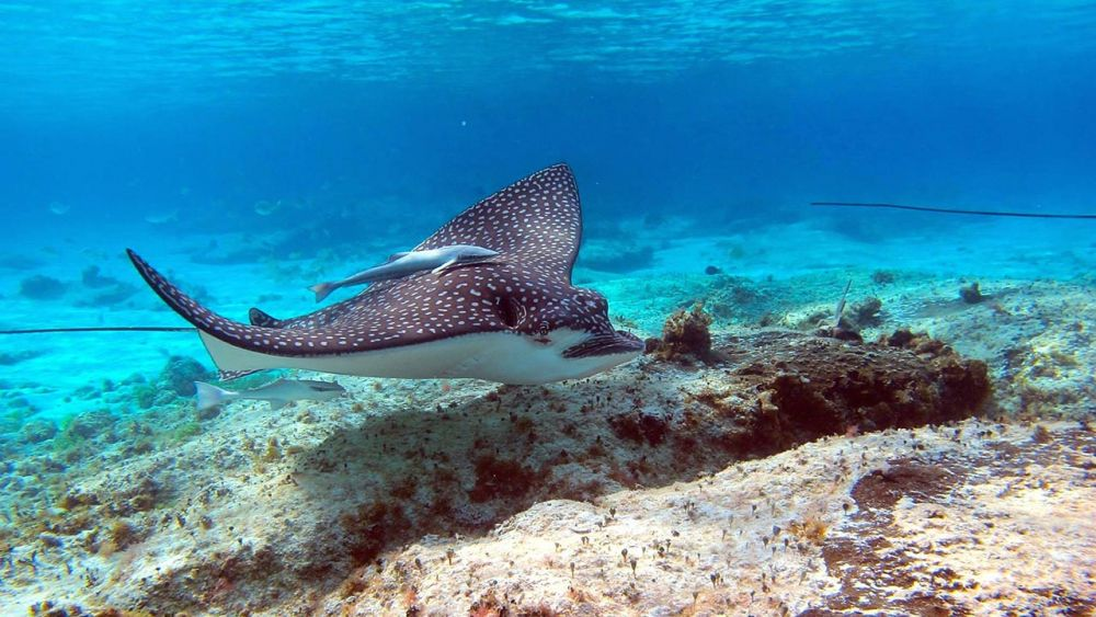 Cooking spotted eagle ray is OK – Fisheries spokesperson   The Thaiger