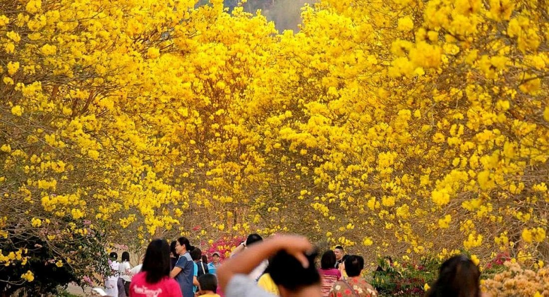 Tourists head to Nan for stunning yellow blossoms | News by The Thaiger
