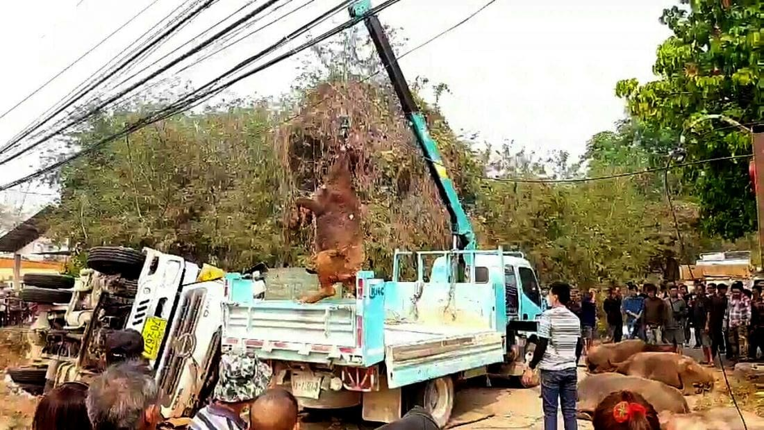 Two men, 14 buffaloes killed in Phayao truck crash | News by The Thaiger