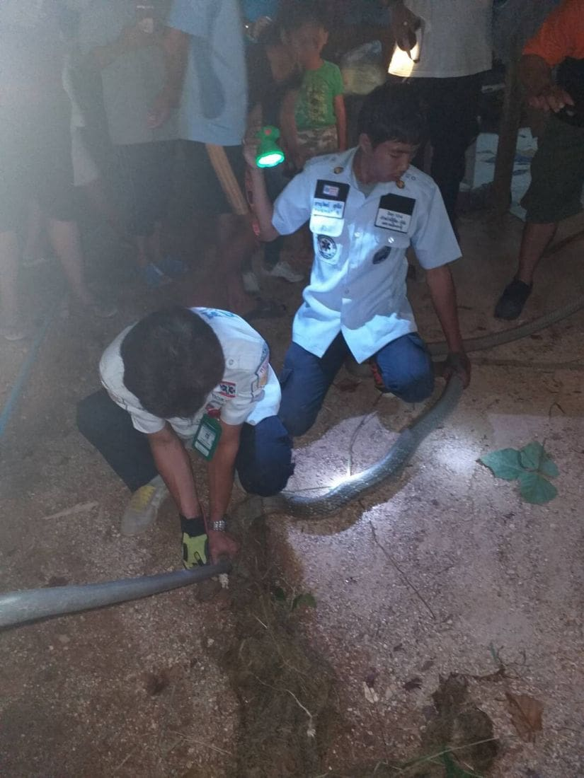 Five metre king cobra caught in Kathu | News by The Thaiger