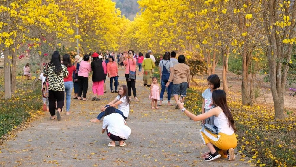 Tourists head to Nan for stunning yellow blossoms | The Thaiger