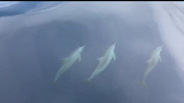 Dolphins playing off Phang Nga – VIDEO | News by The Thaiger