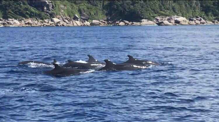นักท่องเที่ยวเฮ…พบฝูงวาฬเพชฌฆาตดำกว่าสิบตัว โผล่โชว์ตัวที่หมู่เกาะสิมิลัน   The Thaiger