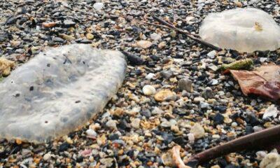 ชาวบ้านตื่น!พบซากแมงกะพรุนจำนวนมาก ถูกคลื่นเกลื่อนหาดแหลมป่องโดยไม่รู้สาเหตุ | The Thaiger