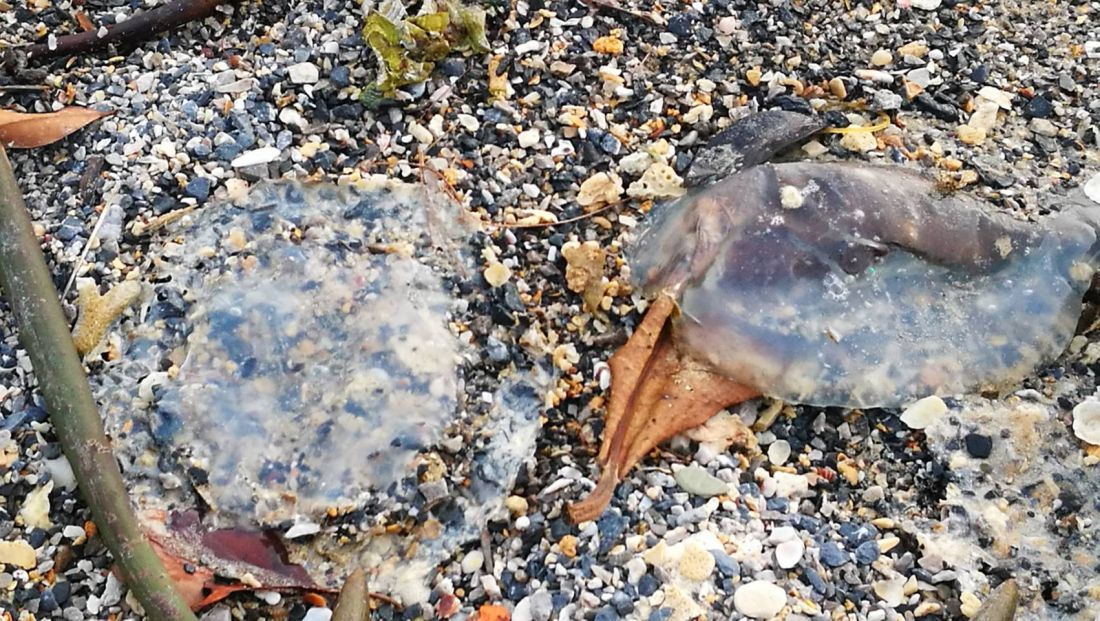 Hundreds of dead jelly fish wash up on a Krabi Beach | News by The Thaiger