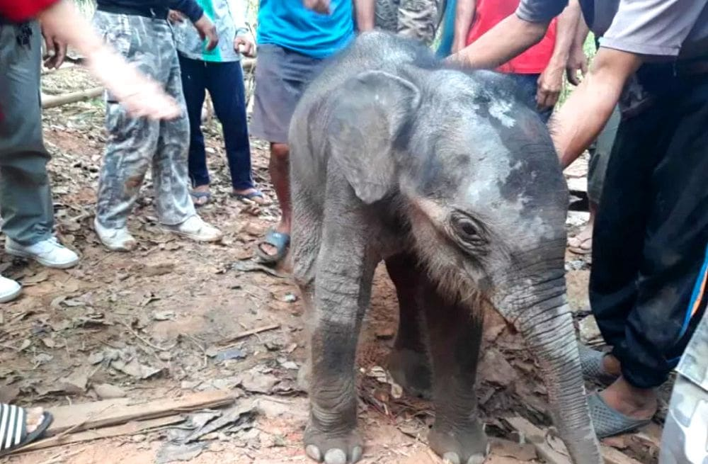 Rescued baby elephant transferred to specialist elephant hospital in Surin | The Thaiger