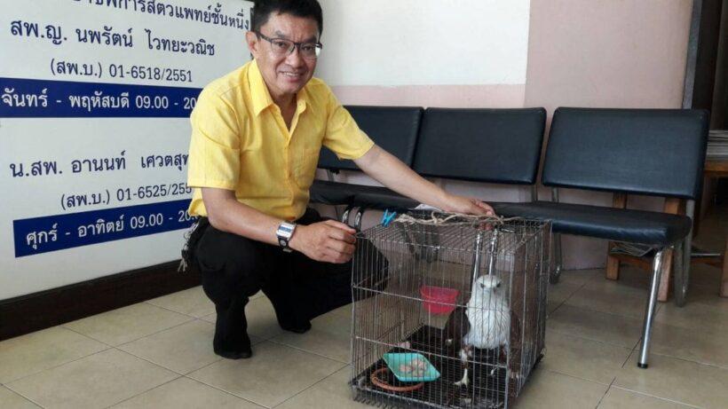 Injured Brahminy Kite (bird) rescued in Karon | News by Thaiger