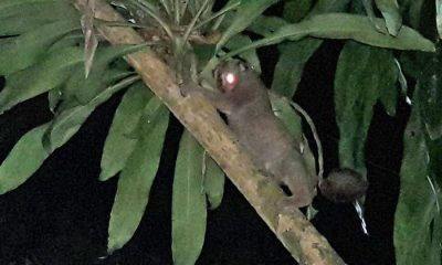 Slow loris released back into Phuket forest | The Thaiger