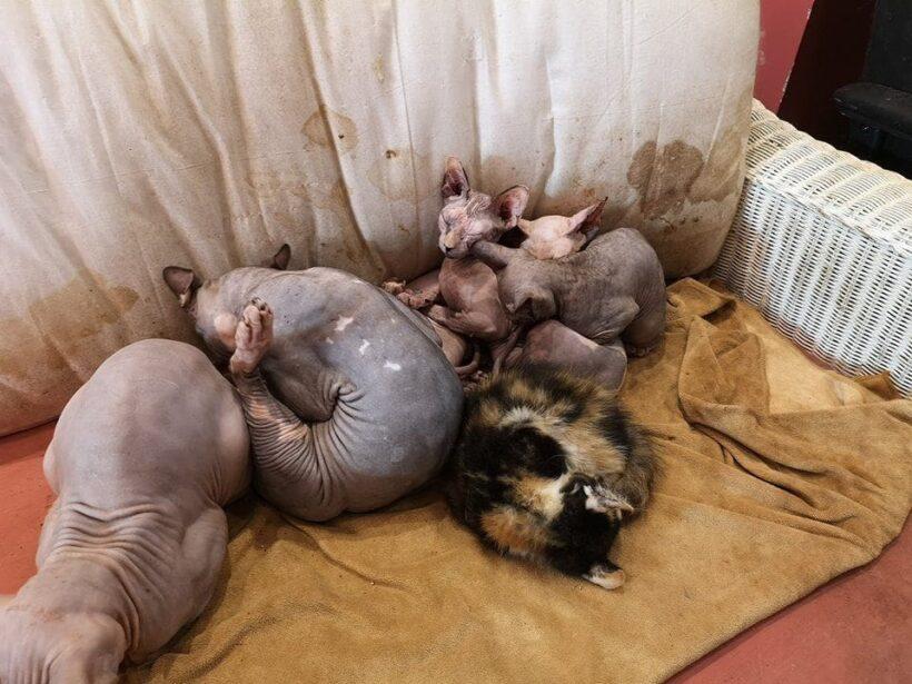 คนรักแมวช็อก! คาเฟ่แมวโหด เพาะพันธุ์แมวยีนด้อย แช่ซากในตู้เย็น รุดช่วย 50 ชีวิต | The Thaiger