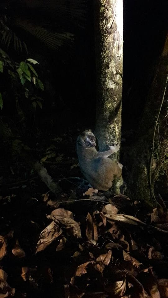 Slow loris released back into Phuket forest | News by The Thaiger
