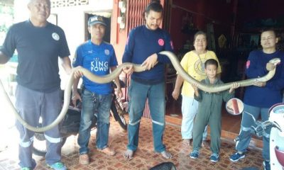 Five metre king cobra caught in Trang – VIDEO | The Thaiger