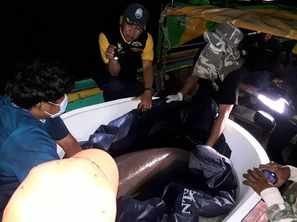 Baby dugong rescued in Krabi, taken back to its Trang home - VIDEO   News by Thaiger