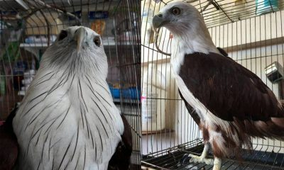 Injured Brahminy Kite (bird) rescued in Karon | The Thaiger