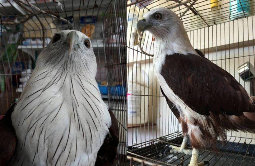 Injured Brahminy Kite (bird) rescued in Karon | Thaiger