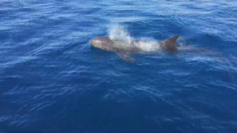 นักท่องเที่ยวเฮ...พบฝูงวาฬเพชฌฆาตดำกว่าสิบตัว โผล่โชว์ตัวที่หมู่เกาะสิมิลัน   News by The Thaiger