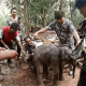 Baby elephant being moved to specialised care after falling in drain | The Thaiger