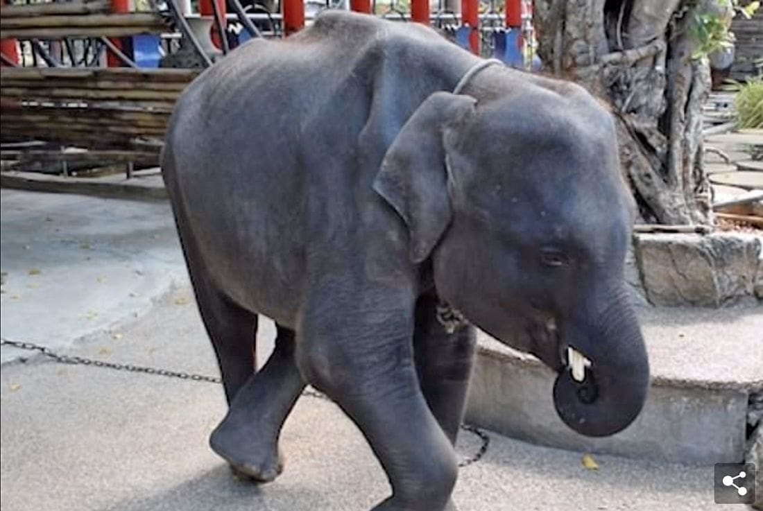 Skinny 'Real-life Dumbo' filmed at Phuket Zoo performing tricks for tourists | News by The Thaiger