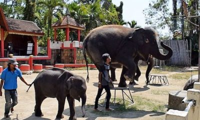 Skinny 'Real-life Dumbo' filmed at Phuket Zoo performing tricks for tourists | The Thaiger