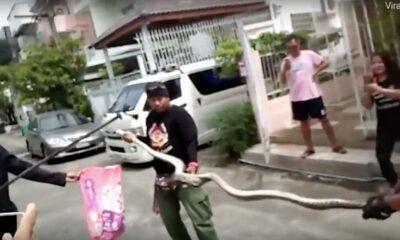 3 metre python hides in toilet. Bites man's penis. | The Thaiger