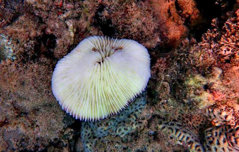 Coral off Phuket suffering from bleaching | The Thaiger