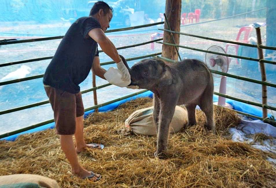 Rescued baby elephant transferred to specialist elephant hospital in Surin | News by The Thaiger