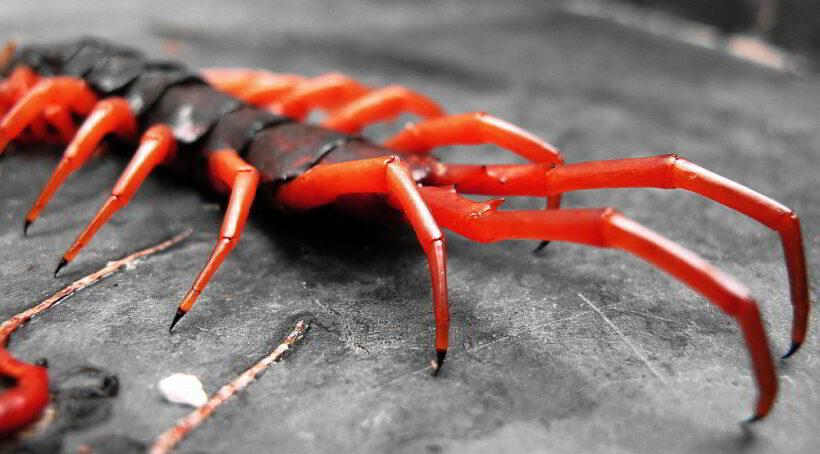 Nakorn Pathom woman dies after centipede bite | News by Thaiger