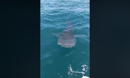 Whale shark sighted off Koh Racha – VIDEO | The Thaiger