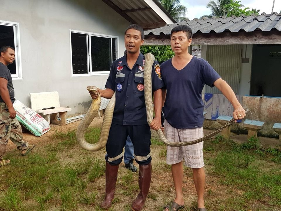Three metre king cobra caught in Trang – VIDEO   News by Thaiger