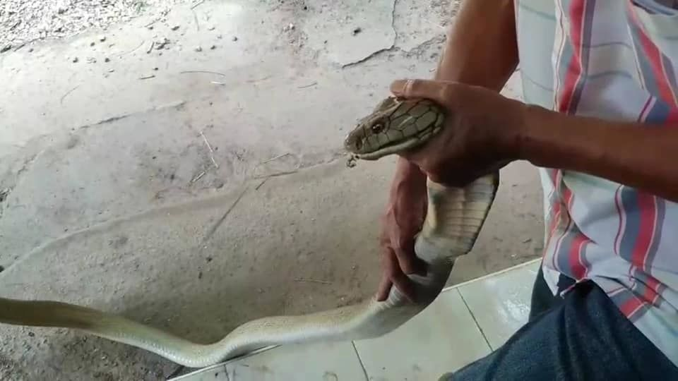 Thai and farang friend catch king cobra with bare hands in Krabi - VIDEO | News by The Thaiger
