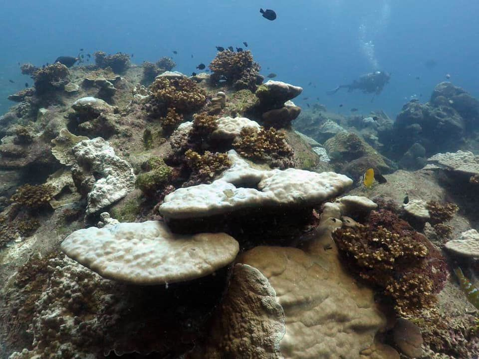Corals bleaching off Pattani | News by The Thaiger