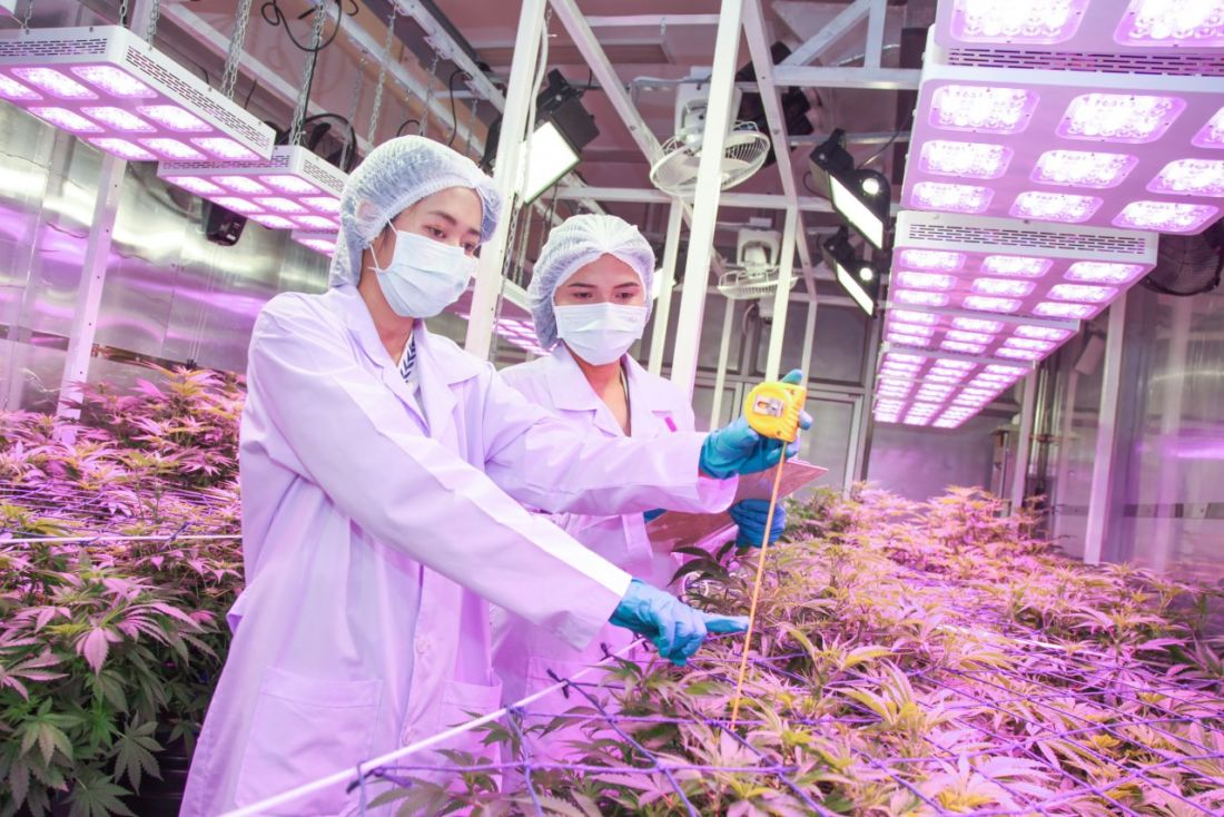 BioThai Foundation says companies growing hemp commercially will create monopoly:   News by Thaiger