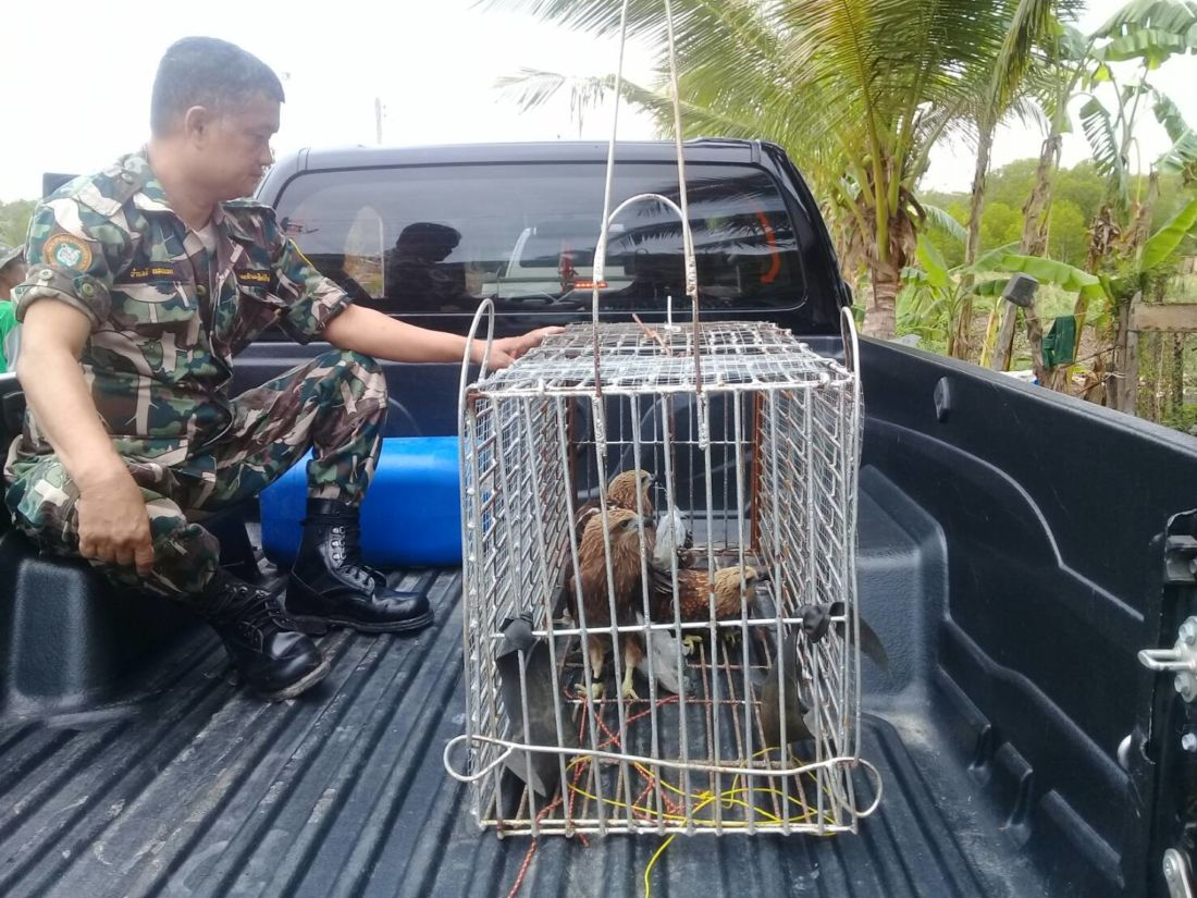 Man arrested for raising protected Red-backed Sea Eagles in Krabi | News by Thaiger