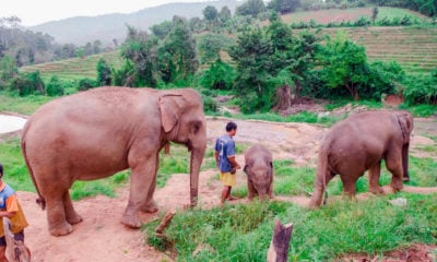 Rising tide of concern over lifting ban on elephant exports | Thaiger