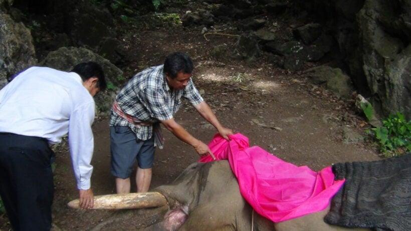 Famous Krabi elephant dies near elephant camp   News by Thaiger