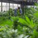 Thai businesses locked out of potential $237.2 million medical cannabis market | The Thaiger