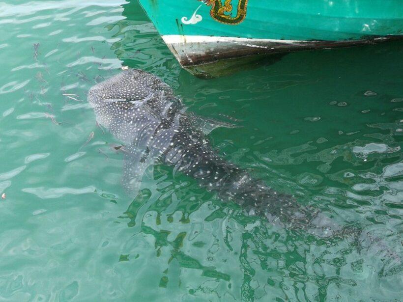 โผล่น้ำตื้น! 'น้องจุด' ฉลามวาฬว่ายโชว์ริมท่าเรือประจวบฯ | The Thaiger