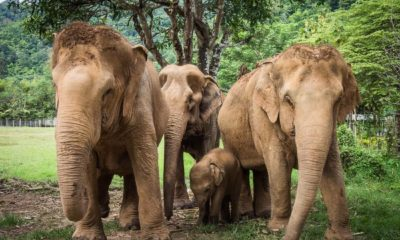 Thailand to re-open the export of elephants after a 10 year ban | Thaiger