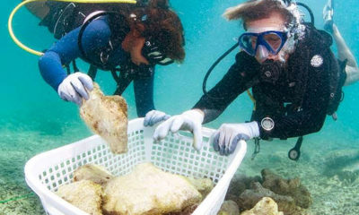 Thousands of young coral being moved to deeper water at Maya Bay | The Thaiger