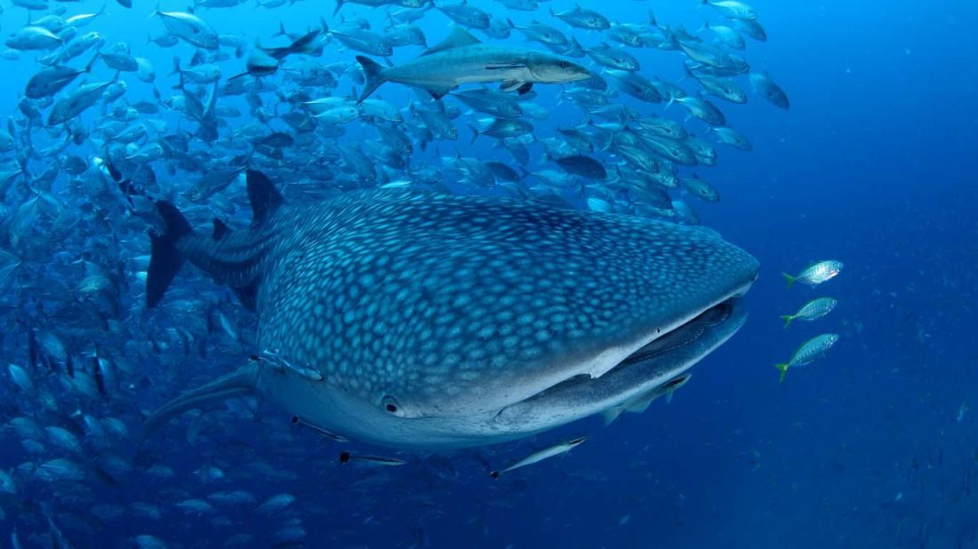 Four Thai marine species announced as 'reserved animals' | News by Thaiger
