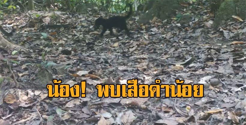 พบครอบครัวเสือดาว ลูกเสือดำ ชายแดนทางตะวันตก อุทยานแห่งชาติแก่งกระจาน | The Thaiger