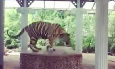 Investigation launched into tiger chained at Phuket Zoo – VIDEO | The Thaiger