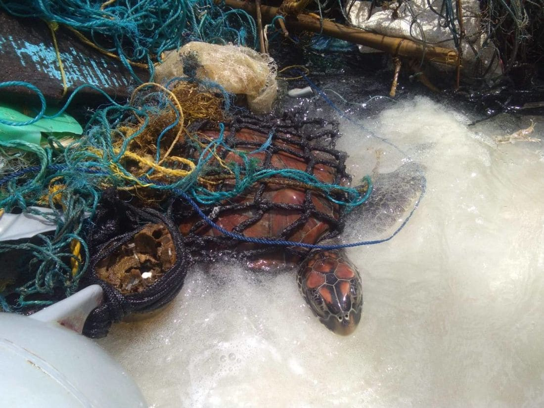 Sea turtle rescued from sea garbage off Phuket – VIDEO | The Thaiger