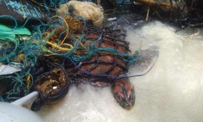 พบเต่าทะเลติดอยู่ภายในซากอวน หลังพายุพัดเกยตื้น อ่าวปะตก เกาะราชาใหญ่ | The Thaiger