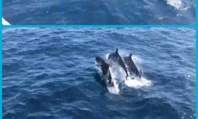 30 False killer whales sighted of Koh Tao – VIDEO | The Thaiger