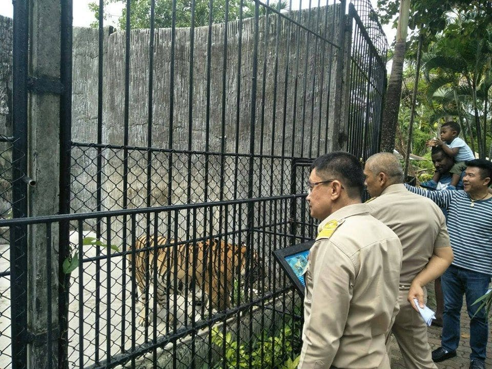 Investigation launched into tiger chained at Phuket Zoo – VIDEO | News by The Thaiger
